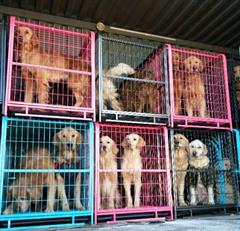 China Dogs in Crates