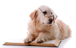 Golden-retriever-learning